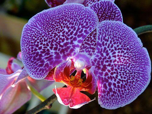 Google Image Result for http://orchidflowers.files.wordpress.com/2011/06/beautiful-purple-orchid-flower-macro-photo.jpg