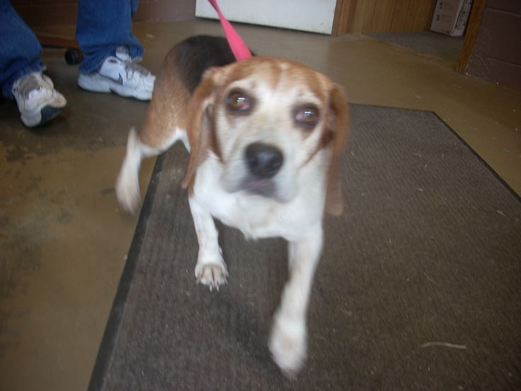 Uurgent!!!! adorable little beagle needs a loving home! $18 TO APPROVED HOME! Carrollton, OHIO Available for a limited time from the Carroll County Dog Pound, 2185 Kensington Rd. NE, Route 9, Carrollton, Ohio 44615, 330-627-4244.  Rescues, please contact storm6916@yahoo.com  Located southeast of the Akron/Canton area. The pound is open...
