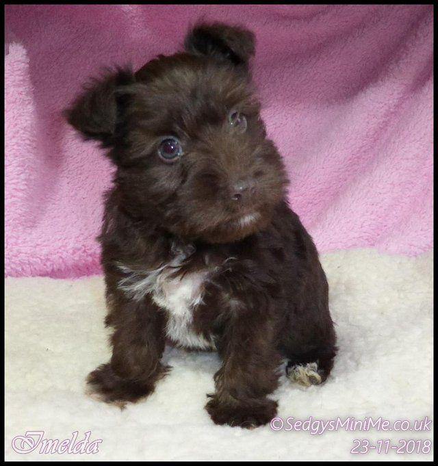 Liver Brown Miniature Schnauzer Pups Boys Girls For Sale In Castle Douglas Dumfries Puppies Miniature Schnauzer Schnauzer