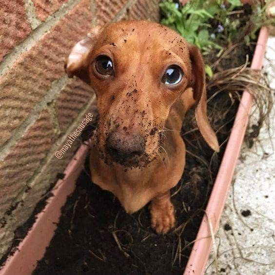 1288 Best Buster The Daschund Images On Pinterest