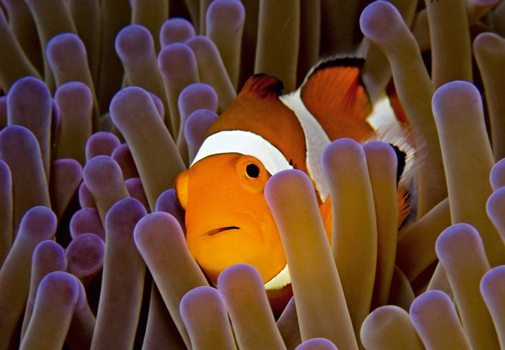 Il pesce pagliaccio con i suoi inconfondibili colori #acquario #white #orange #stripes #clown #fish #fishtank