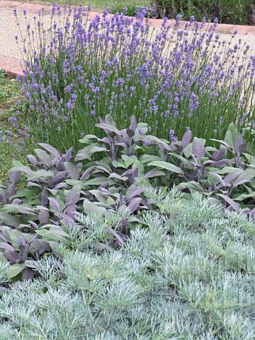 Artemisia, Salvia, Lavendula.  The silvers and the greens and the lavenders.. Lovely combo.