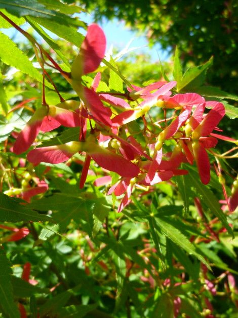 Acer palmatum - #acero #giapponese - #japanese #maple - #arce #japonés #palmeado - #Fächer #Ahorn - #Japanse #esdoorn - #érable #palmé - Piccolo #albero con #chioma densa, ben #ramificato, #coltivato come #pianta #ornamentale. Small #tree with dense #foliage, well #branched , #cultivated as an #ornamental #plant. For more info click on the photo and visit our website!