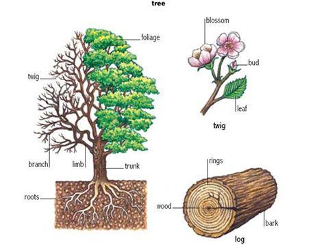 Tree Tree [triː] – дерево Trunk [trʌŋk] - ствол дерева Foliage ['fəulɪɪʤ] – листва Limb [lɪm] – ветвь Branch [brɑːnʧ] - ветка (более мелкая) Twig [twɪg] - веточка, прут Roots [ruːts] – корни Blossom ['blɔsəm] - цветок (в период цветения плодовых деревьев) Bud [bʌd] - бутон / почка Leaf [liːf] – лист Log [lɔg] – бревно Bark [bɑːk] - кора дерева Wood [wud] – древесина Rings [rɪŋz] – кольца