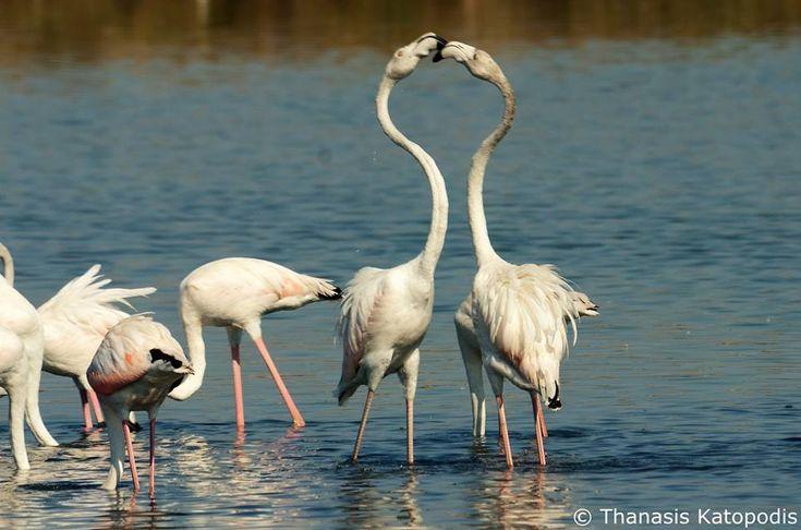 Flamingos στη λιμνοθάλασσα. 2709/2016.