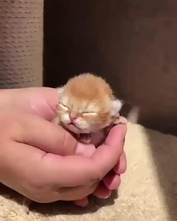 Newbie Scottish Fold Kitten Baby Cats Kittens Cutest Cute Baby