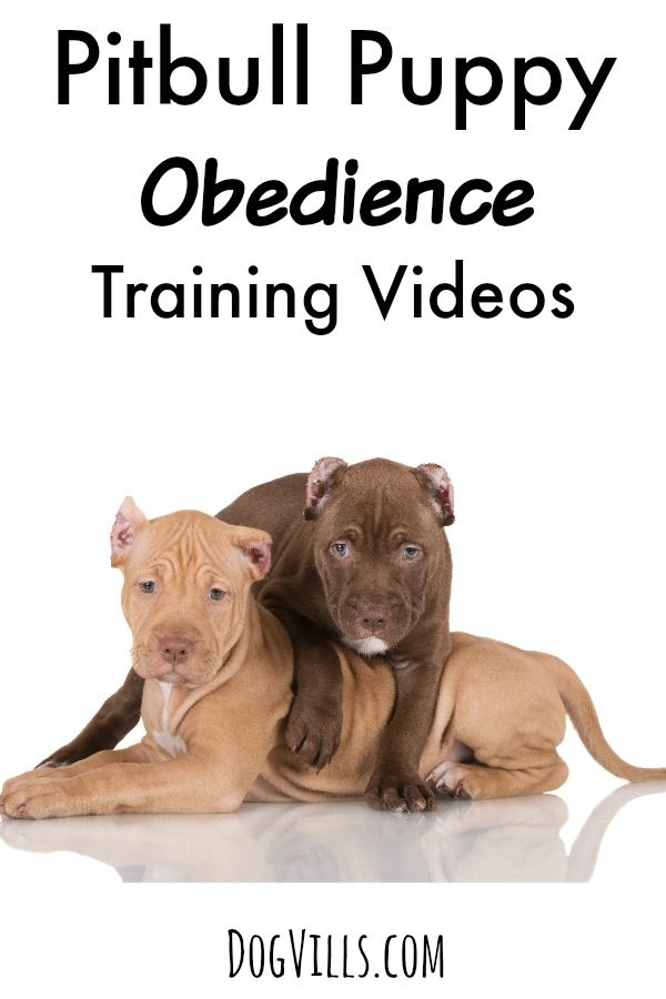 Pitbull Puppy Obedience Training Videos: These pitbull puppy obedience training videos aren't just a great way to learn how to train your pit, they're such a joy to watch! Which is your favorite?