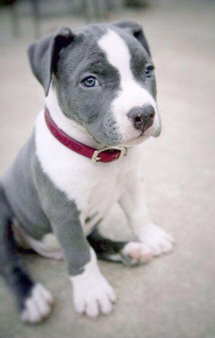 Amazing Pitbull Boxer Mix Lifespan D Pitbull Puppy Pitbull Puppies Puppy Sitting
