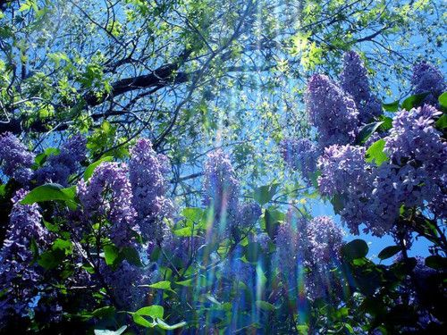 Lilacs: Lilacs Bush, Blue Flowers, Take Pictures, Color, Purple Flowers, Beautiful, Pretty Flowers, Photos Art, Heavens