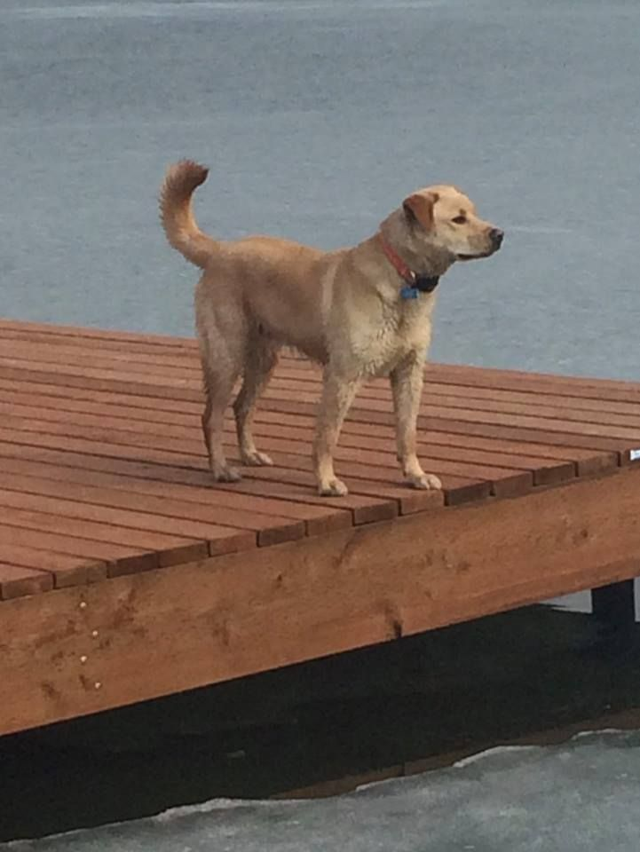Our 1 year old Husky/Golden Retriever called Blue has been missing since 19th October from Meadow Lakes, Alaska. His orange safety collar has our address and phone numbers on it so if you find him, please contact us.