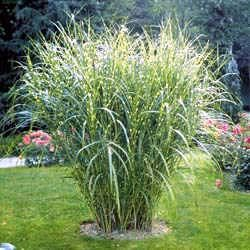 Zebra Grass for either side of the patio = privacy