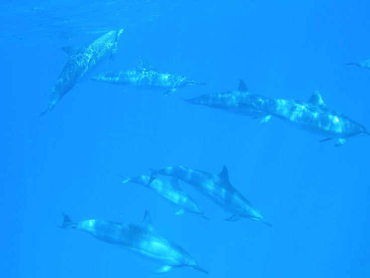 2011maui dolphin