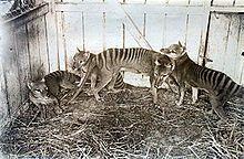 Thylacine - Wikipedia, the free encyclopedia Tasmanian tiger!!