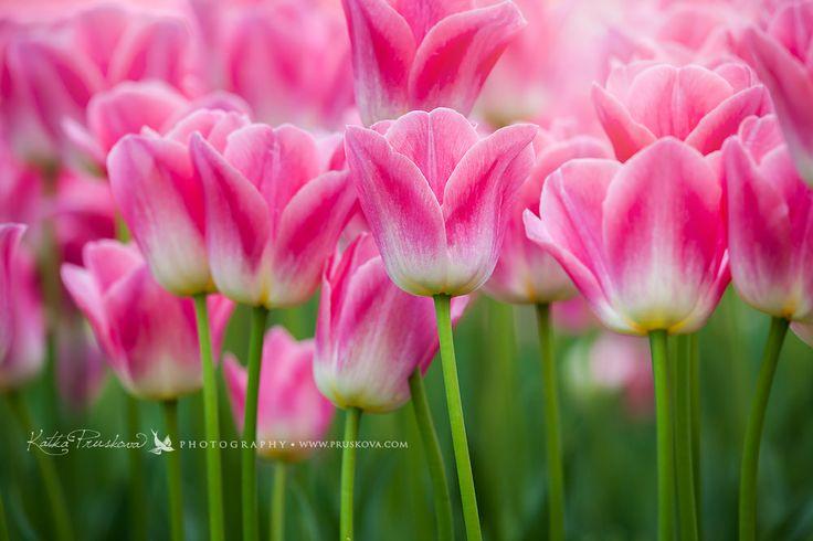 Amazing pink tulips, Holland,  Katka Pruskova Photography   www.pruskova.com