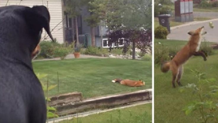 Dog Anxiously Watches Fox After He Steals Her Toy And Plays With It In Front Of Her (VIDEO)