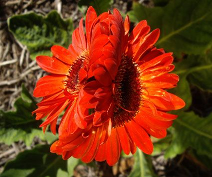 Double Joined Centre ..Gerbera