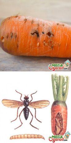 Морковь. Вредители: виды, борьба с помощью народных и химических средств, профилактика