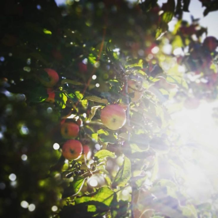 Oh wundervoller Herbst dass #apple #tree #treestagram #tree #sun #light    – Nature