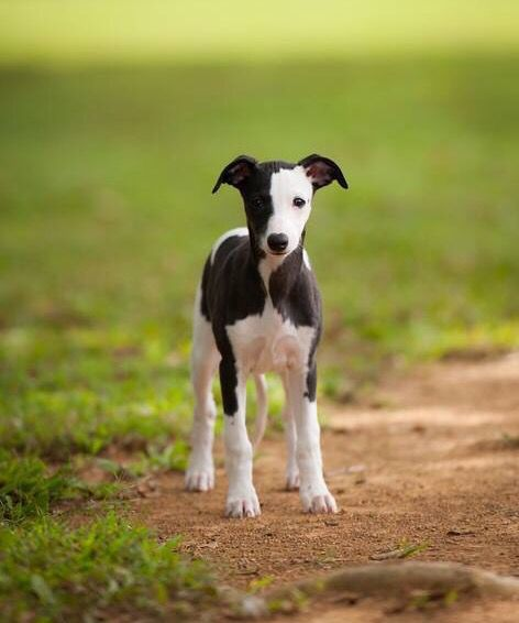 Puppy whippet                                                                                                                                                                                 More