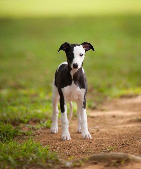 Puppy whippet  / Pinterest: Mar Navarro Gutierrez