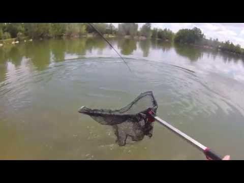 pêche d'une carpe de 2kilos a la bouillette en étang  #2kilos #bouillette #carpe