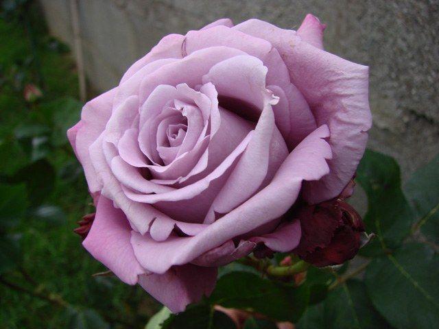 La rosa Charles de Gaulle es un rosal de color malva-lila-azul, producido por Meilland. Su perfume es excepcional. Descubre como cuidar tu Charles de Gaulle