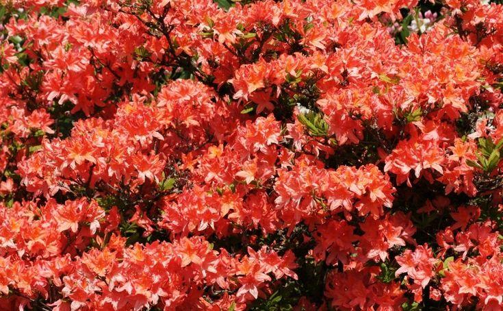 Przesadzanie Rododendronow E Ogrodek Plants Azalia Red Peppercorn