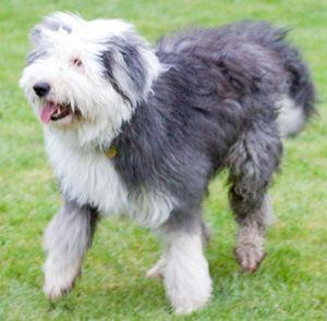 Hunderasse Bobtail (Altenglischer Schäferhund)