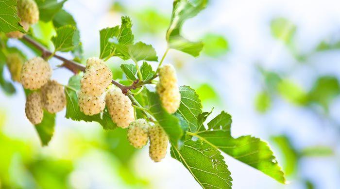 Az eperfa termése.