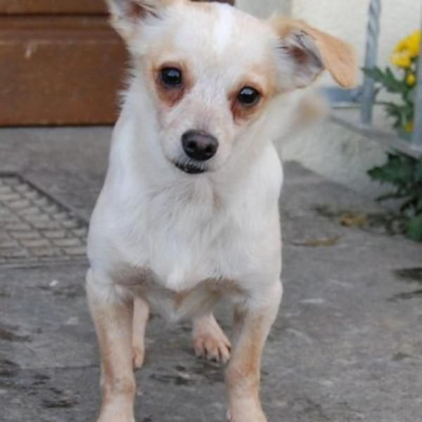 Paul, 26 cm klein, 4 kg, 3 jährig, in 90552 Röthenbach in Pflege, geimpft, gechipt und kastriert.Paul ist ein aufgewecktes, verschmustes Kerlchen. Er spielt gerne und rennt auch mal durchs Zimmer oder durch den Garten. Bei anderen Hunden ist der kleine Mann lieb. Das alleine bleiben ist kein Problem. Er liebt es in einem kuscheligen Körbchen zu liegen.Paul ist stubenrein und leinenführig. Paul ist ein Hund der sicherlich gerne überall dabei ist.Die Vermittlung wird nach einer Platzkontrolle…