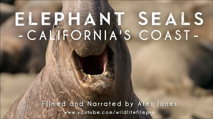 California' elephant seals / Get unique, hands-on activity ideas for ISLAND OF THE BLUE DOLPHINS by Scott O'Dell at  http://www.litwitsworkshops.com/free-resources/island-of-the-blue-dolphins/ LitWits Kits make literature real and fun for kids – so they want to read more!