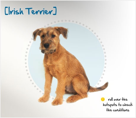 Did you know that Irish Terriers, originally bred to rid properties of rats and other vermin, were used as messengers during World War I because of their plucky tenacity? Read more about this breed by visiting Petplan pet insurance's Condition Checker!