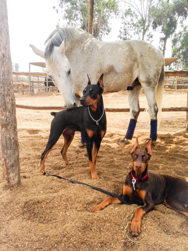 Leslie Stark Modonese Boss, contino and myra #Dobermanpinscher #Doberman #horse
