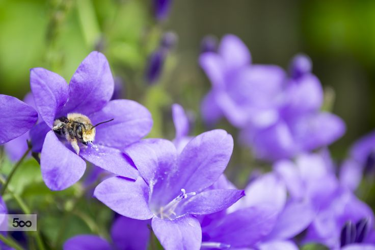 Beautiful purple bellflowers with bee looking for nectar