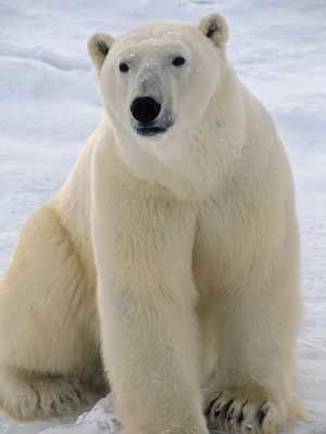 In THE EXPLORER'S CODE there is a very dangerous polar bear.