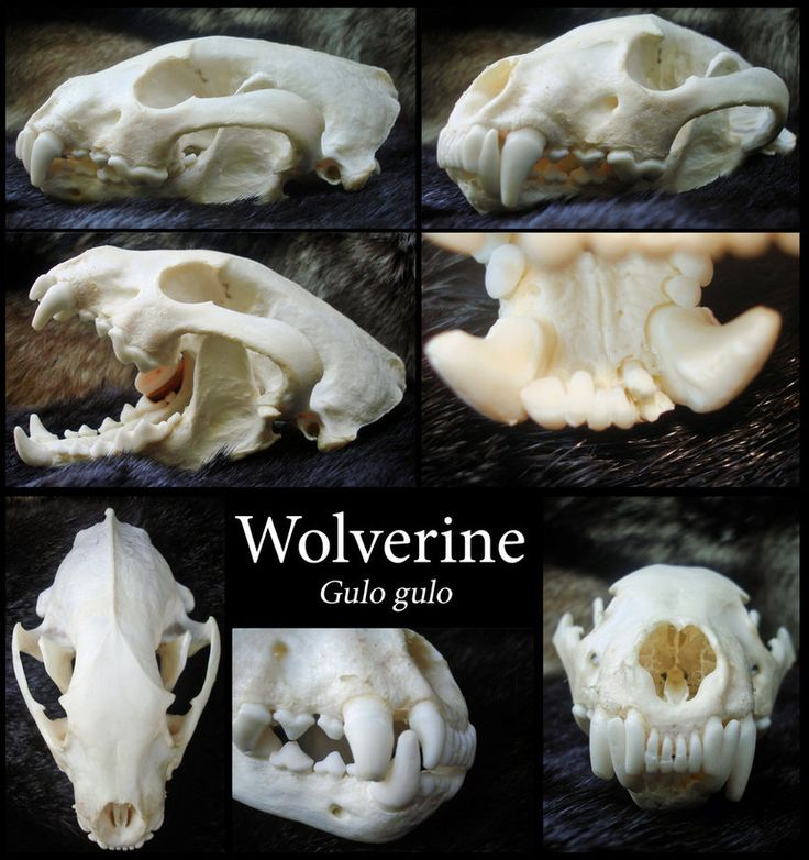 Wolverine Skull by Wolfiedude101