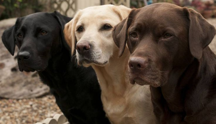 three labrador dogs in a row: black, blond and brown