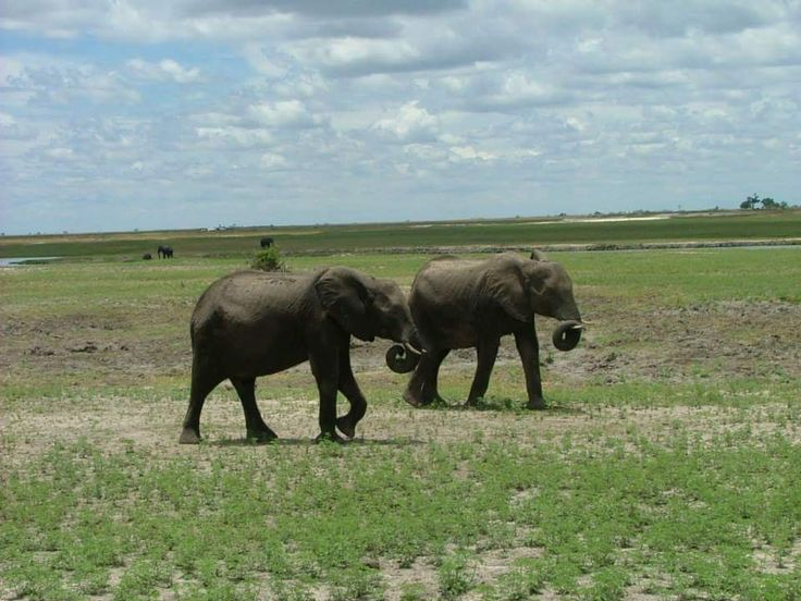 Very interesting places to visit in Botswana... Chobe - Northern Botswana....#elephant #wildlife #southafrica #photosafari #tourism #extremefrontiers #adventure #holiday #vacation #safari #tourist #travel