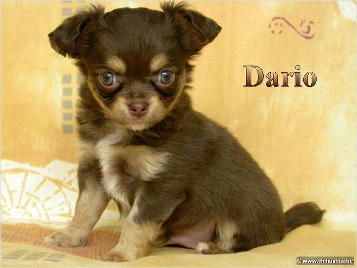 chihuahua | Chihuahua kennel ***Van 't Eiland Ouburg*** Chihuahua puppies