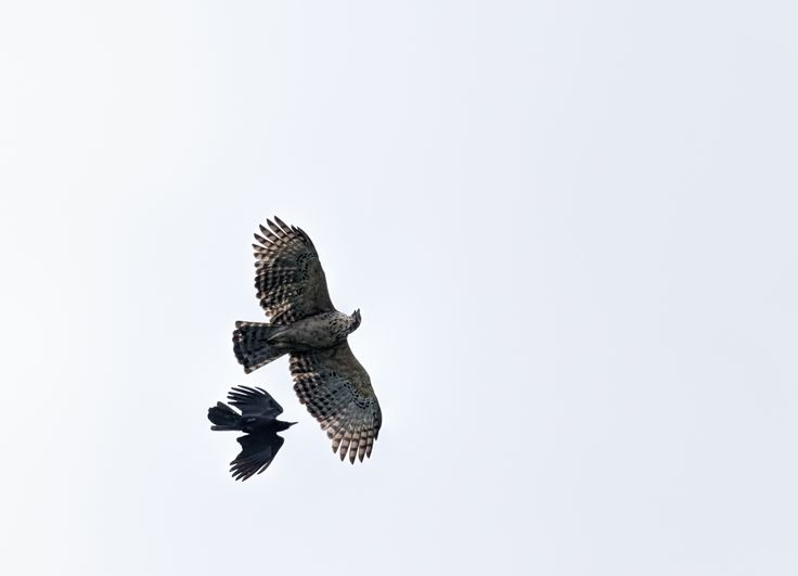 Mountain hawk Eagle, Nisaetus nipalensis Soaring in sky chased by crow with copy space
