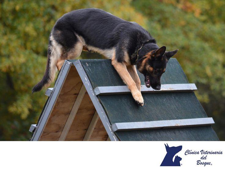 CLÍNICA VETERINARIA DEL BOSQUE. El Schütz Hund, es un deporte canino para perros de protección originalmente diseñado como una prueba para ayudar a evaluar el temperamento de los perros pastor alemán, este deporte ha ganado popularidad entre los aficionados  de diferentes razas. El término Schütz Hund es de origen alemán y literalmente significa perro de protección. #cuidadodemascotas