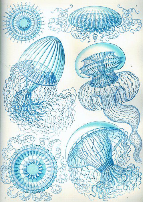 Leptomedusae Jellyfish, Kunstformen der Natur, 1904 (Earnst Haeckel)