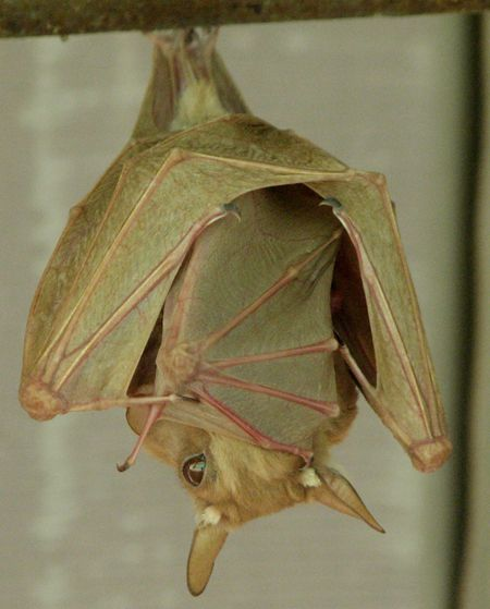 Egyptian Fruit Bats  - there is a baby tucked in mama's folds, stretching it's little wing