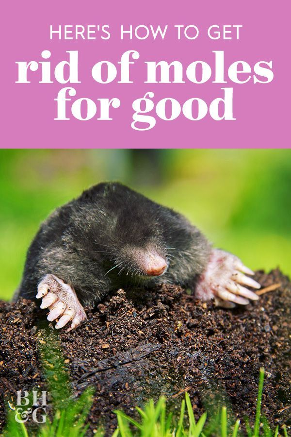 Here's How to Get Rid of Moles in Your Yard for Good in ...