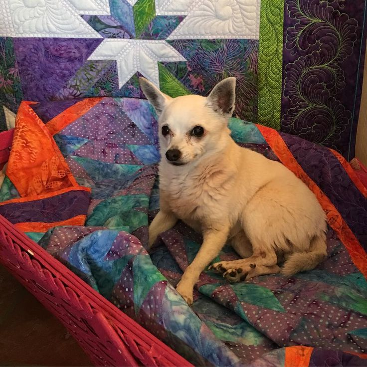 Pixxie, my professional quilt model, enjoying her throne of #huntersstarquilt #ilovemydog