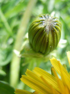 Dandelioness Herbals: The Dandelions Are Here!!