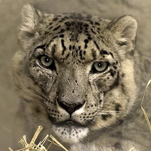 Snow Leopard | Animal Fact Sheet | Lincoln Park Zoo