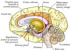 internal capsule and deep gray matter - - Yahoo Image Search Results