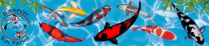 HKF is a full time Koi Farm in Hanover, PA. We have more Koi & Butterfly Koi than you've ever seen! Better Koi, Better Health, Better Selection. We offer a full supply of Koi and pond supplies including Koi food and medications, pumps, filters, waterfalls, skimmers, UV lights and water treatments. We have everything you need for Koi and ponds.