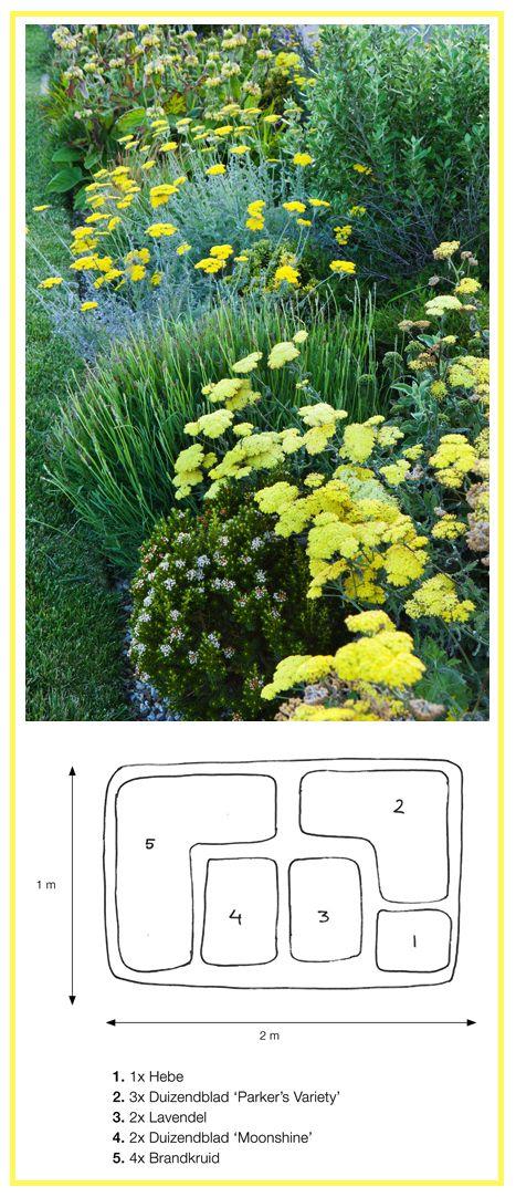 Yellow Border .............................. 1. Hebe 'Baby Marie'  2. Fern-Leaf Yarrow 'Parker's Variety' (Achillea filipendulina)  3. English Lavender 'Munstead' (Lavandula angustifolia)  4. Yarrow 'Moonshine' (Achillea)  5. Turkish Sage (Phlomis russeliana)